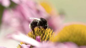 uma abelha sugando o botão da centáurea