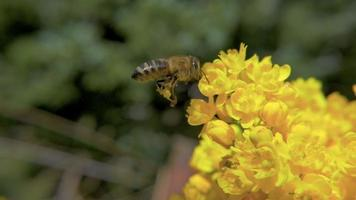 HD Slow-Mo: Bee and Yellow Flowers video