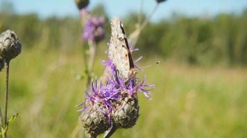 Schmetterling sammelt Nektar von einer Blume und hebt dann ab, Zeitlupe