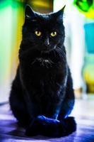 gato negro foto