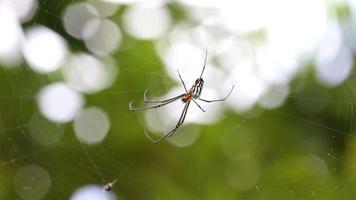 schwarze und gelbe Argiope-Spinne im Netz
