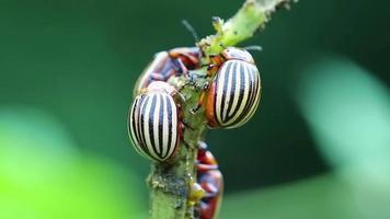 besouros do colorado em planta de batata video