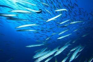 Shoal of Yellowtail Barracuda photo