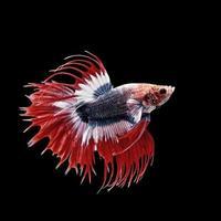 Betta o pez luchador siamés aislado en negro