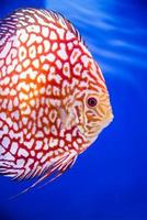 Discus fish , Checkorboard turquoise close-up body photo