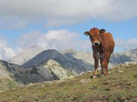 Single Calf High In The Mountain photo