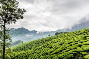 Tea Estate