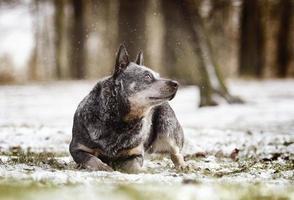 portrait beautiful fun australian cattle dog puppy in snow background