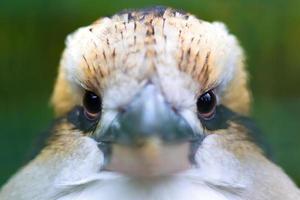 riendo kookaburra (dacelo novaeguineae) foto