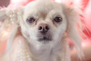 Audrey Hepburn Chihuahua wearing pearls photo