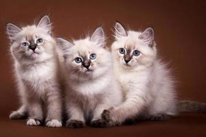 Three Siberian kitten sitting and looking at the camera