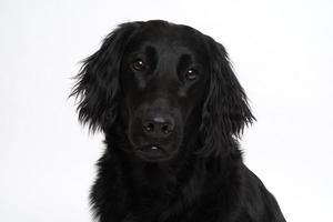Close-up of black Labrador retriever's face against white background photo
