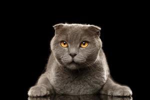 Retrato de gato british fold enojado sobre negro foto