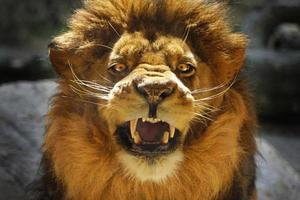 Beautiful aggressive Lion male angry and roar