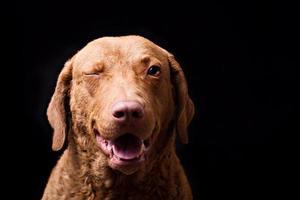 Dog: Retriever winking at the camera on black