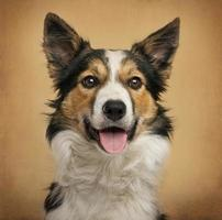 Border Collie in front of a vintage background
