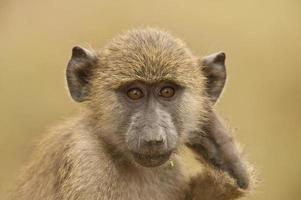 portrait of an olive baboon photo