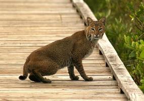 Bobcat in Florida photo