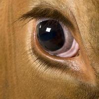 vaca holstein, mirando a la cámara, de cerca a los ojos.