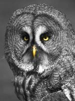 Owl - glaring yellow eyes photo