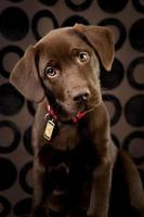 Adorable Chocolate Lab Puppy Looking Curiously at Camera
