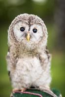 Close up of a baby Tawny Owl (Strix aluco) photo
