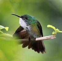 Hummingbird White-chested Emerald (Amazilia brevirostris) 02 photo
