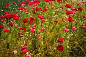 Image of scenic poppy field