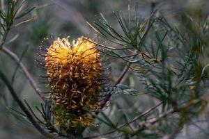 Yellow conifer cone