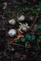 White and brown snail on brown dried leaves