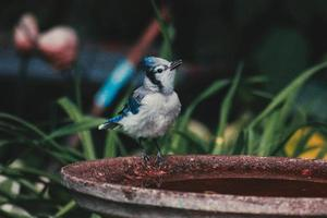 arrendajo azul en bebedero para pájaros