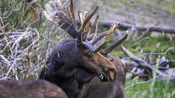 Bull moose feeding at Sprague Lake