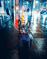 Black pug with leash on wet city street during nighttime