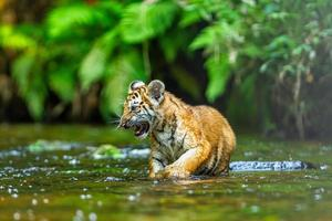 A tiger cub wades through the water in the taiga, or boreal forest