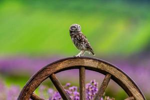 Little owl sitting on a wooden wheel in a lavender field photo