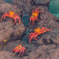 Vibrant crabs on a rock photo