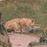leona bebiendo agua