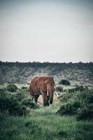 Brown elephant grazing in a field