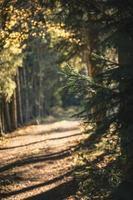 El enfoque selectivo de pino verde durante el día