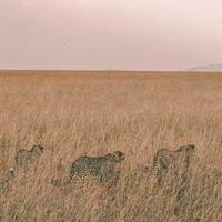 Three leopards sulking in a field