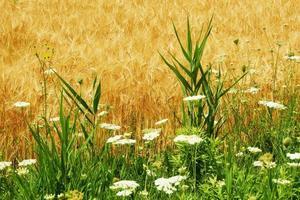 Field flowers near brown barley field