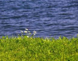 Small flowers on the edge of a seascape photo