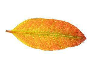 Hoja de eucalipto sobre fondo blanco. foto