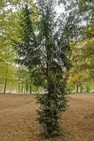 Fir tree in nature park