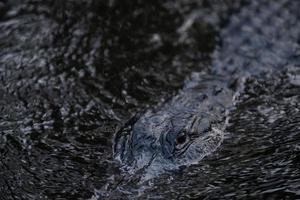 Alligator in dark water photo