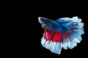 Halfmoon betta fish with blue and red stripes photo