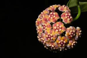 Hoya flower on black background