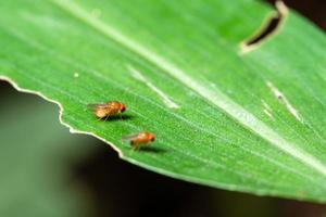 drosophilas en hoja verde
