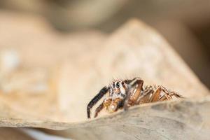 Araña saltadora marrón sobre una hoja seca
