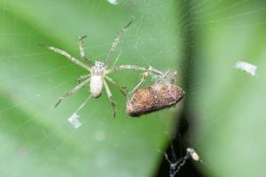Spider laying eggs, macro